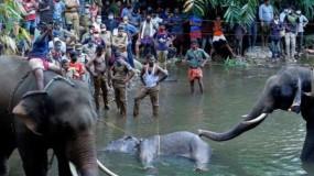 وفاة أنثى الفيل الحامل بالأناناس المفخخ بالهند تتفاعل.. والجناة بعيد عن العدالة