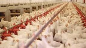 """""""الاقتصاد"""" بغزة تكشف أسباب ارتفاع أسعار الدجاج خلال الأيام الماضية بالقطاع"""